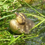Duckling.