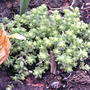 Golden stonecrop planted in rock garden (Sedum acre 'Aureum')