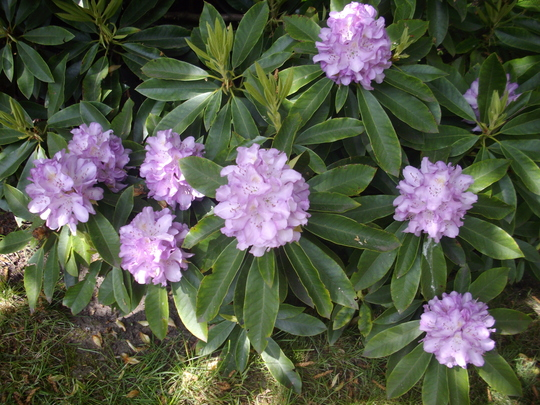Rhododendron (Pale purple) (Rhorodendron)