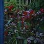 red robin (photinia)