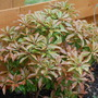 mountain fire (pieris japonica)