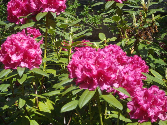 Rhododendron (Magenta with black basal mark) (Rhododendron)