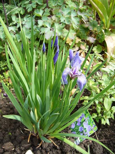 Iris setosa 'Baby Blue'