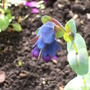 Cerinthe major purpurescens