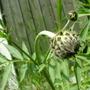 Cephalaria Giganea - Giant Scabious (Cephalaria gigantea (Giant scabious))