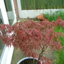 Doing better now it's potted up! (Acer palmatum)