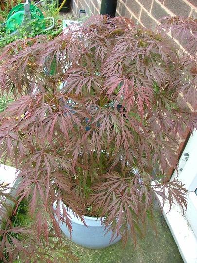 Acer (Acer palmatum)