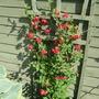Lathyrus Rotundifolia