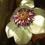 Clematis 'Sieboldii' (Clematis florida (Clematis))
