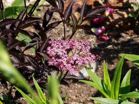 sambucus nigra 39 black beauty 39 grows on you. Black Bedroom Furniture Sets. Home Design Ideas