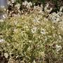 variegated bladder campion (Silene vulgaris (variegated))