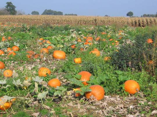 lots of pumpkins in a field