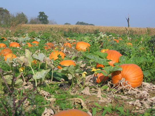 large pumpkins in a field in our village
