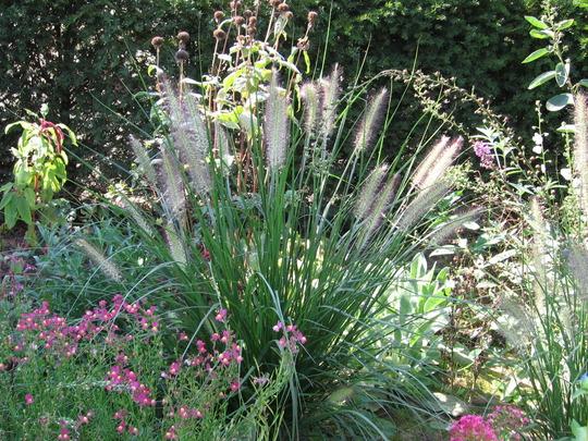 pennisetum compressum in front garden (2006)