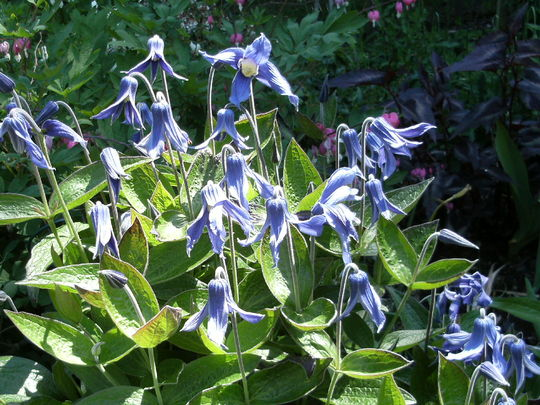 Clematis Integrifolia ..  more flowers!