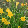 bulbicodium (Narcissus bulbocodium (Hoop-petticoat Daffodil))