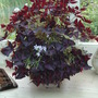 purple plant  Oxalis