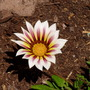 Gazania_in_the_volcano
