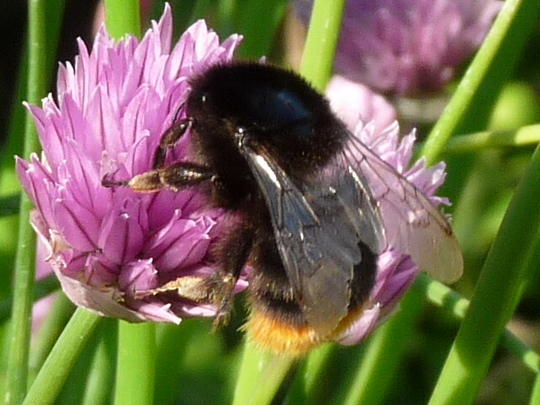 Red tailed Bumble Bee with Chives 2