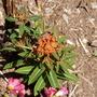 Euphorbia_fireglow_and_oxalis_iron_cross_