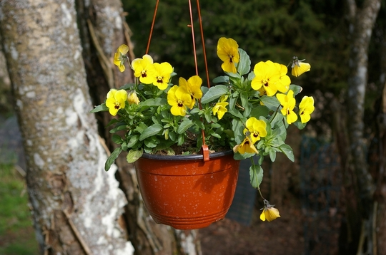 Yellow pansy in hanging basket on washing line (Viola tricolor)