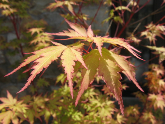 Acer transforms from pink to green (acer)