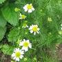 Matricaria chamomilla...German Chamomile (Matricaria chamomilla)