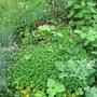 Creeping Thyme (Thymus praecox (Creeping Thyme))