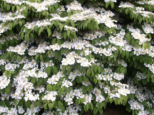 Viburnum Pilcatum Mariesii