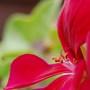 Arty Pelargonium shot (pelargonium tomentosum)