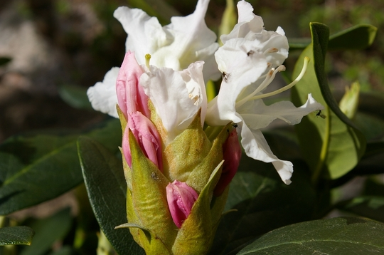 """Rhododendron """"Cunningham's White"""". bud to flower (Rhododendron """"Cunningham's White"""")"""