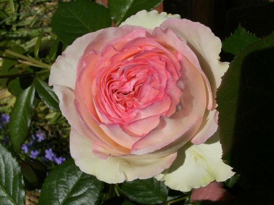 Rosa '  Eden '88