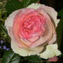 Rosa_eden_88