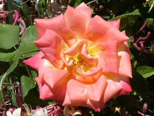 Rosa  ' Masquerade '