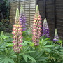 Lupins (lupin russells hybrid  mix)