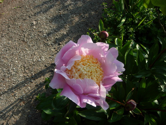 Paeonia 'Bowel of Beauty'