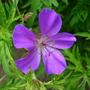 Ger. Kashmir Purple