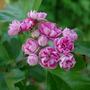 Crataegus Blossoms (Crataegus laevigata 'Rosea Florea Pleno')