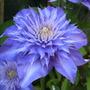 Clematis_multi_blue