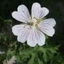 Geranium ibericum subs. jubatum 'White Zigana' (Geranium ibericum subs. jubatum)