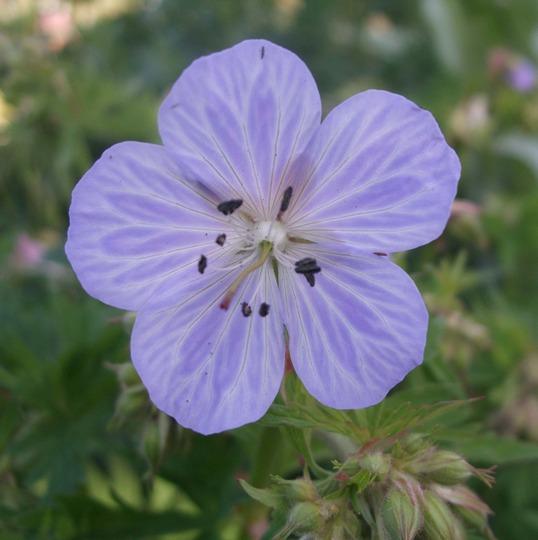 Geranium 'Mrs Kendall Clark' (Geranium pratense (Meadow cranesbill))