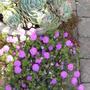 geranium and echeveria  - June 2010