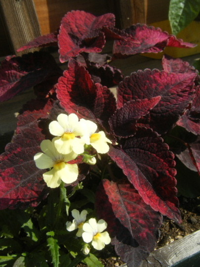 Coleus and Nemesia