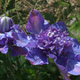 Clematis_vyvyan_pennell