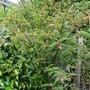 himalayan honeysuckle (Leycesteria formosa (False Nutmeg))
