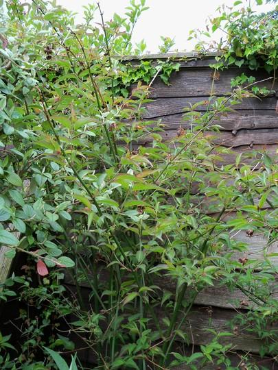 A garden flower photo (Leycesteria formosa (False Nutmeg))