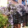 Wisteria Floribunda. (Wisteria Floribunda)
