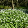 wild garlic carpet