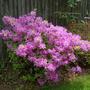 Azalea - Girard's Fuchsia - May 2008