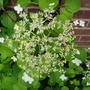 Hydrangea 'Petiolaris' (Hydrangea petiolaris (Climbing Hydrangea))